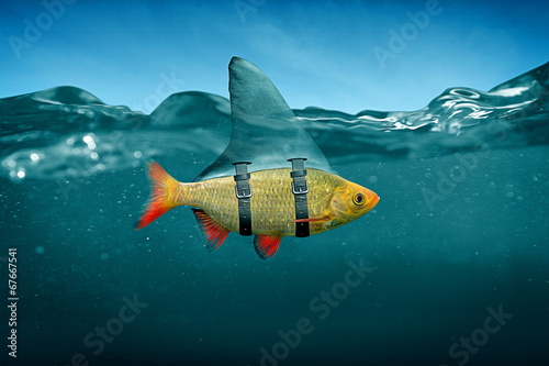 Fotografering  Small Fish with Shark Fin