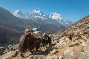 Yaks transporting goods in Himalayas