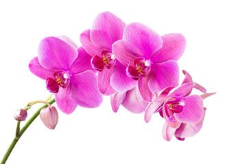 Fototapeta Orchid