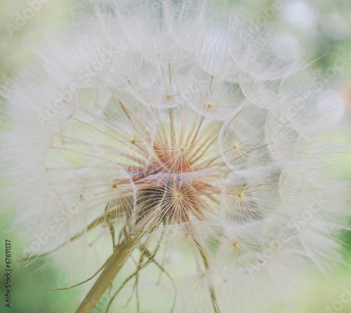 Dandelion inside,macro photography