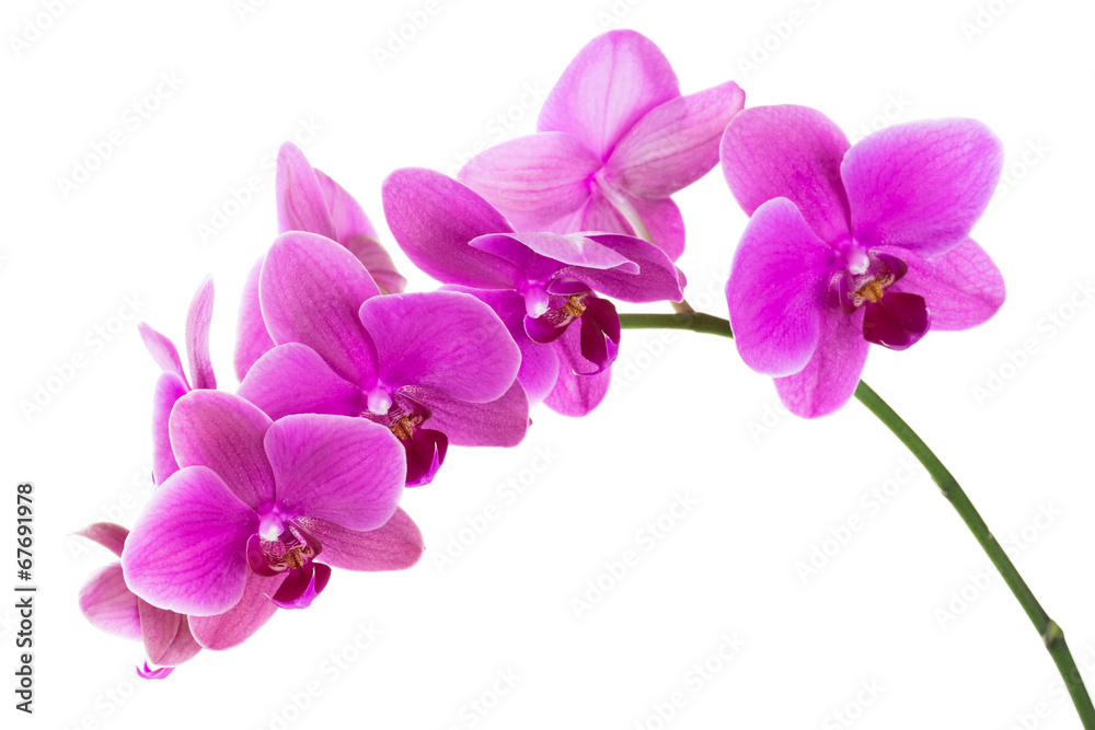 Fototapety, obrazy: Orchid flowers isolated on white background