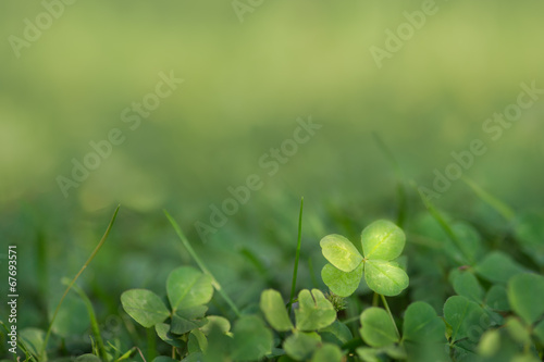 Four leaved fortune clover growing in sunlight on ground Poster Mural XXL