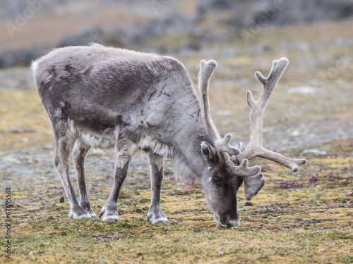 Papiers peints Scandinavie Reindeer in the Arctic