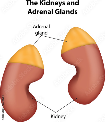 Adrenal Glands and Kidneys labeled Diagram Wallpaper Mural
