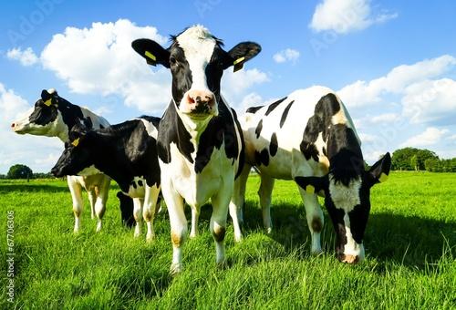 Um sich blickende Rinder Fototapet