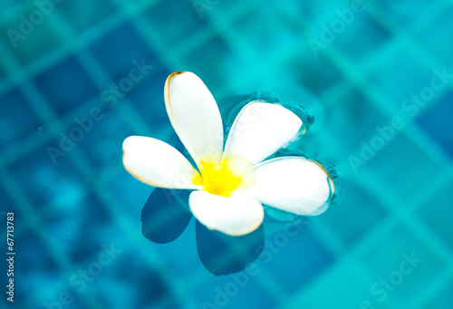 Keuken foto achterwand Frangipani Plumeria floating in blue water