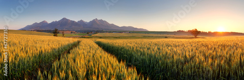 Obraz Sunset over wheat field with path in Slovakia Tatra mountain - p - fototapety do salonu