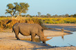 canvas print picture - White rhinoceros drinking water