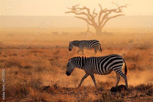 Acrylic Prints Zebra Plains zebras in dust, Amboseli National Park