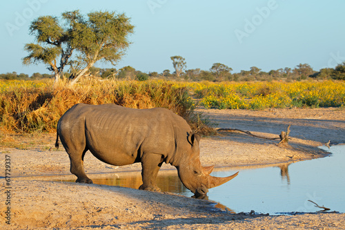 Photo sur Toile Rhino White rhinoceros drinking water