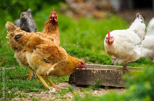 Keuken foto achterwand Kip chicken