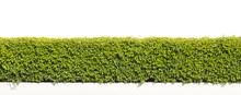 Green Hedge Or Green Leaves Wa...