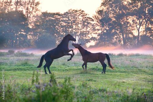 horses fighting on misty pasture