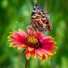 Butterfly Pollinating An Indian Blanket Flower