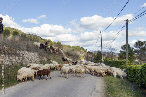 Aluminium Prints Sheep Kudde schapen op de weg