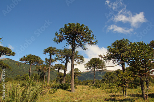 Photo Araucaria, symbol of Chile