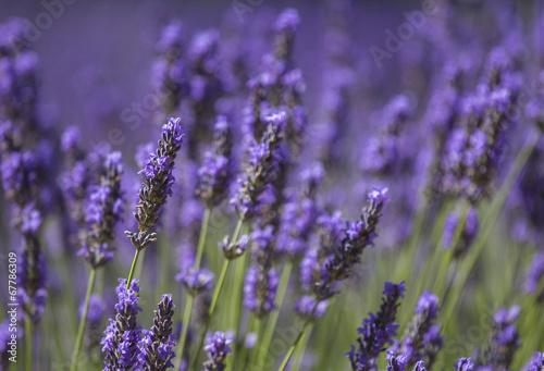 Fotobehang Lavendel Lavande en Provence en Provence