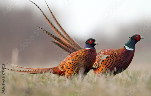 Poster Chasse Pheasant