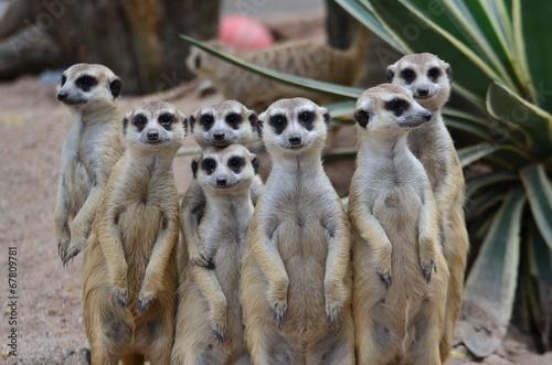fototapeta na lodówkę suricate rodziny