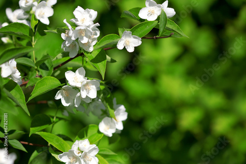 Photo  Beautiful blossoming branch of jasmine