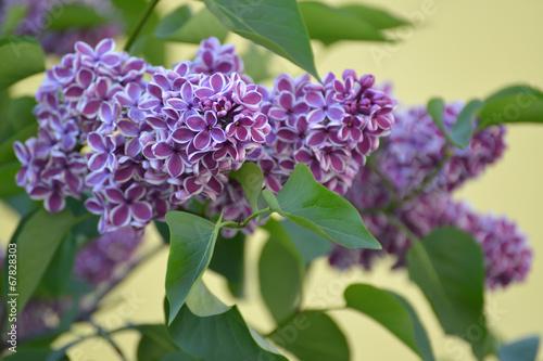Fotobehang Lilac Blossoming lilac (Syringa L. ) grades Sensation