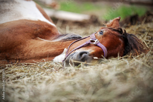 Photo  Horse resting in the hay