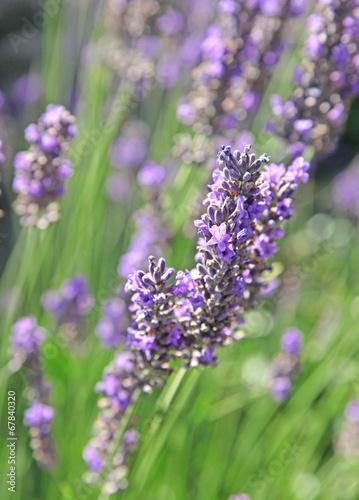 Fotobehang Lavendel lavande et rosier dans un massif