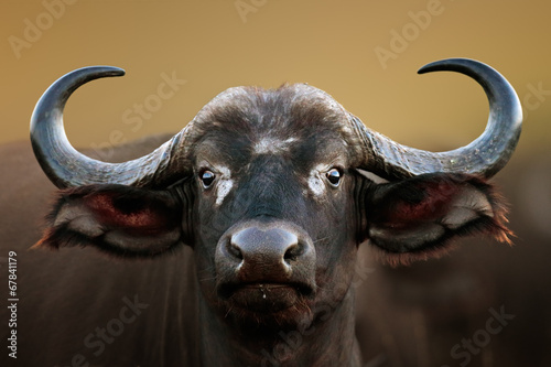 Photo sur Toile Buffalo African buffalo Cow Portrait