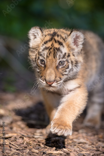 Foto op Plexiglas Leeuw Tigerbaby (Panthera tigris)