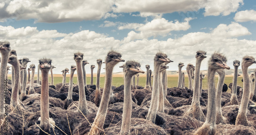 Tuinposter Struisvogel Herd of Ostriches