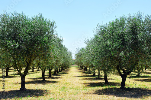 Foto op Plexiglas Olijfboom olive trees in Tuscany countryside, Toscana, Italy