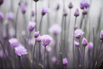 Fototapeta samoprzylepna Flowering chives