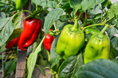 Photo  Glasshouse Grown Capsicums