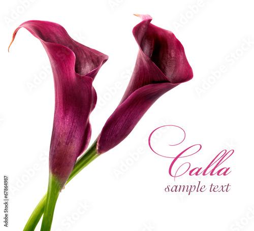 Fotografie, Obraz  calla lilies