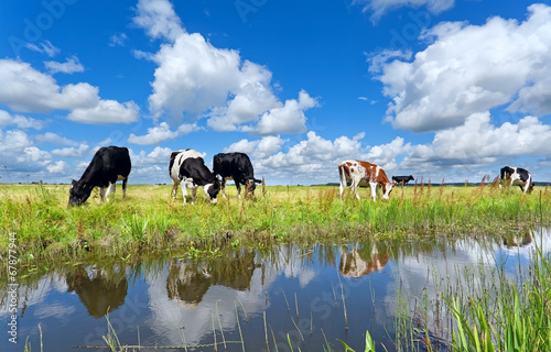 Photo Stands Cow cows on pasture by river over blue sky