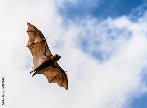 Fotografie, Obraz  Flying fox on blue sky