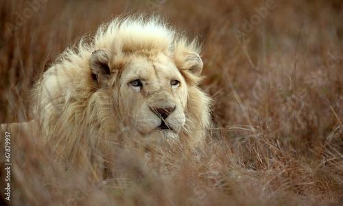 Staande foto Leeuw White lion