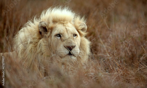 Fotobehang Leeuw White lion