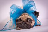 Fototapeta Dogs - Funny Pug/Funny Pug at white background