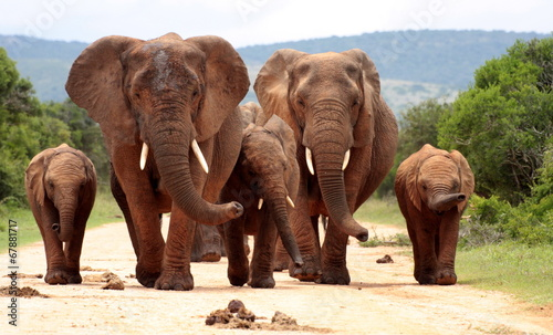 Foto op Aluminium Olifant A herd of elephant on the move and walking towards the camera. South Africa