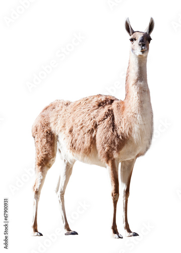 Deurstickers Lama Guanaco. Isolated on white