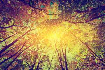 FototapetaAutumn, fall trees. Sun shining through colorful leaves. Vintage