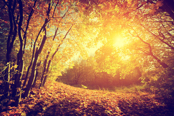 FototapetaAutumn, fall landscape. Sun shining through red leaves. Vintage