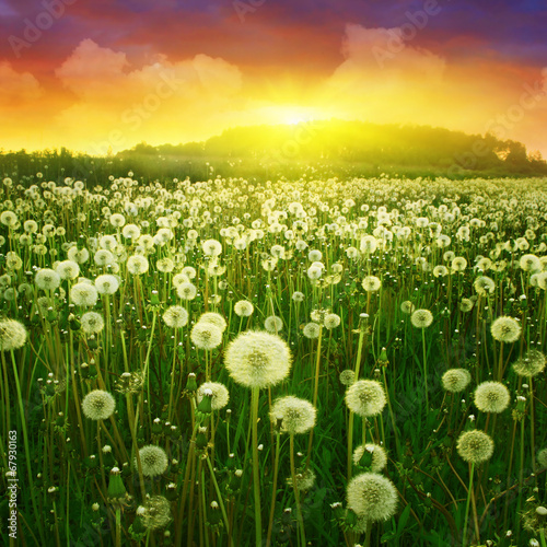Fototapety, obrazy: Dandelion field and colorful sunset.