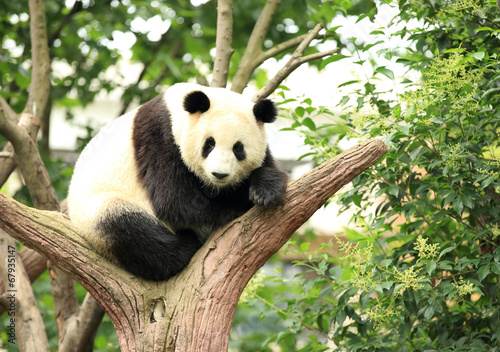 Stickers pour porte Panda giant panda at forest