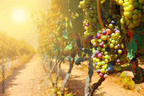 Leinwand Poster Grapes at sunset