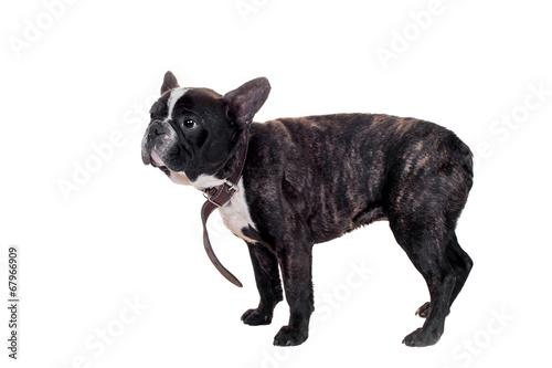 Deurstickers Franse bulldog French bulldog puppy on white