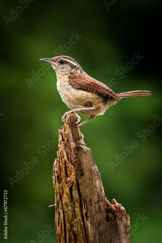 Fotografie, Obraz  A carolina wren perched on a pine stump