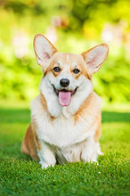 Pembroke Welsh Corgi Sitting O...