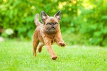 Brussels Griffon Dog Running O...